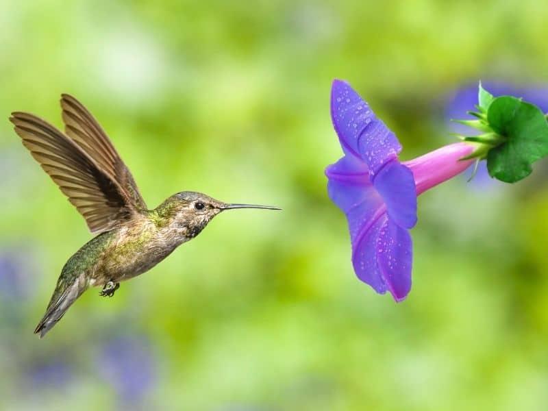 a humingbird visiting a morning glory flower
