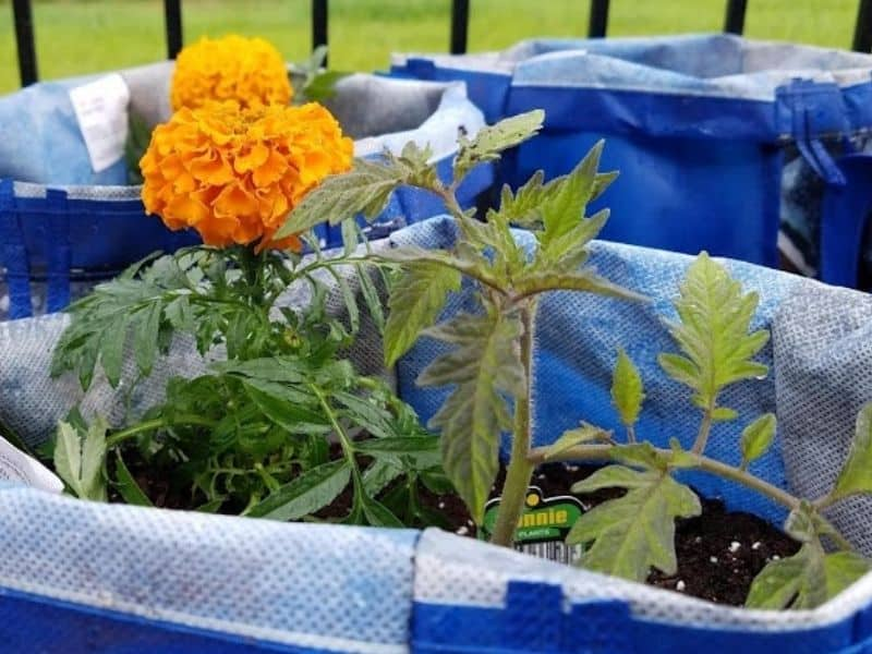 marigold and tomato planted in a grow bag