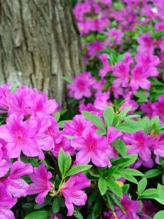 pink azaleas around tree