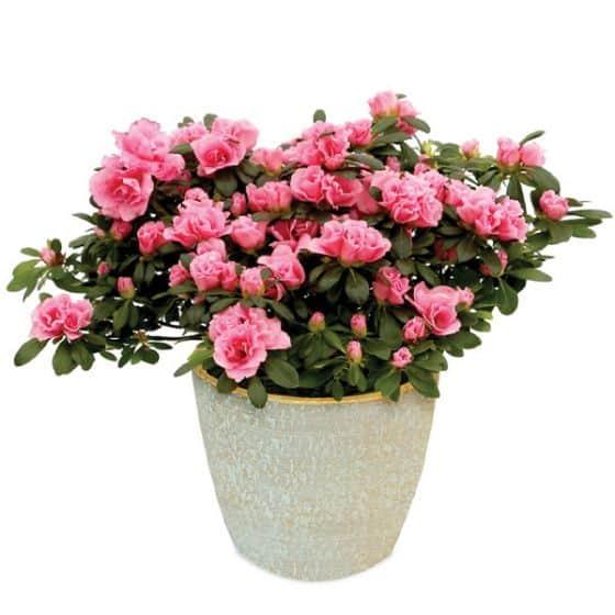 pretty in pink indoors azalea plant