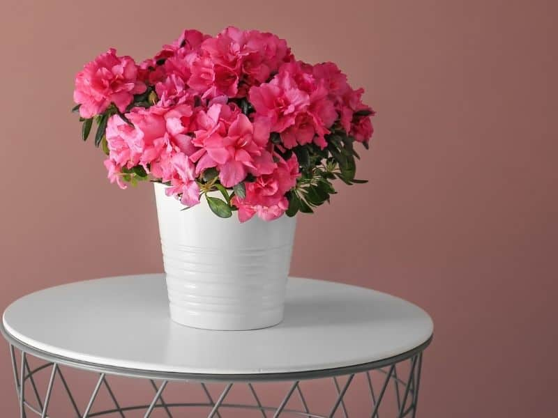 potted pink azalea plant on a white table