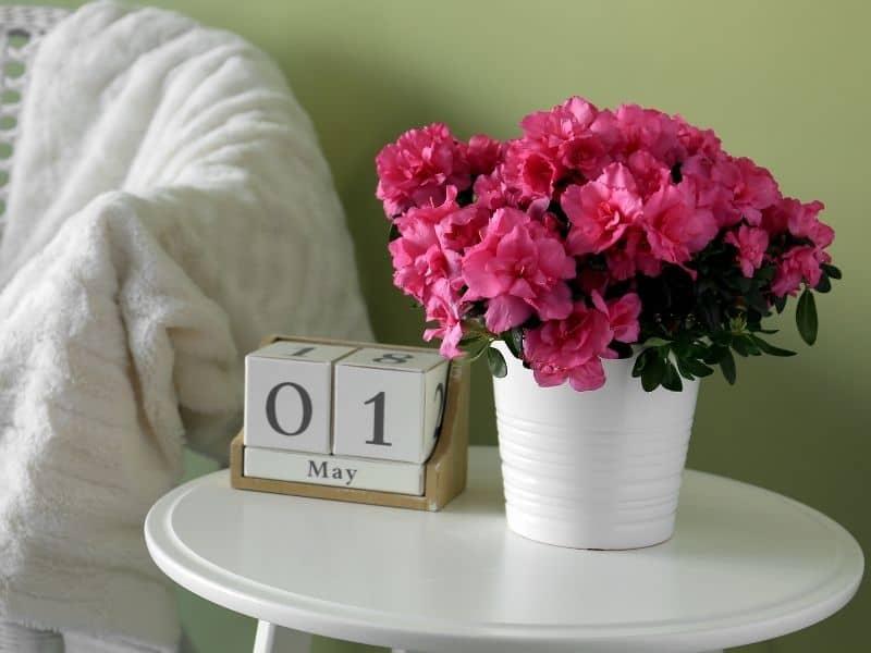 potted pink azaleas