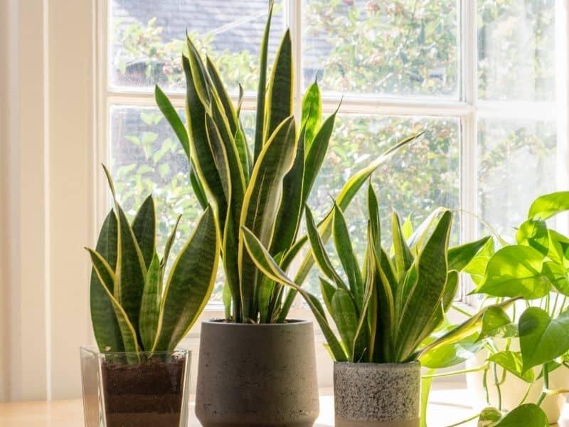 potted snake plants