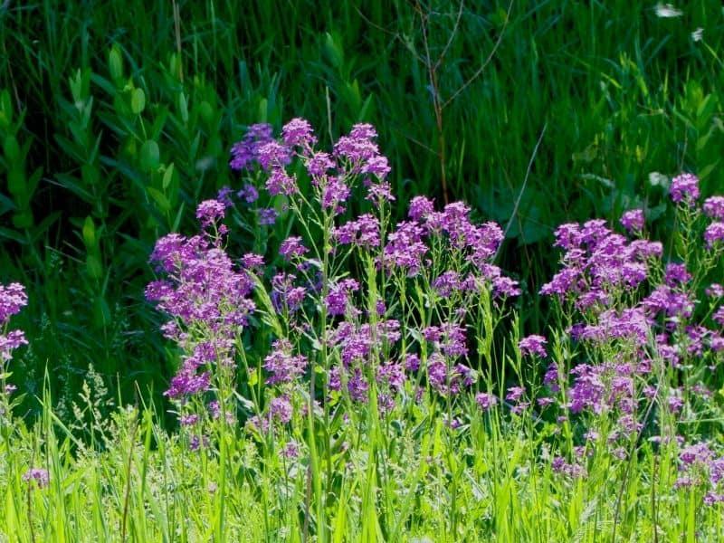 Prairie Phlox flowers