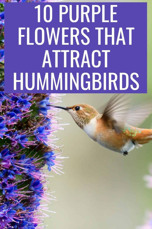 10 purple flowers that attract hummingbirds