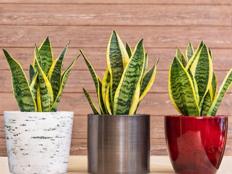 Snake plants in cute containers