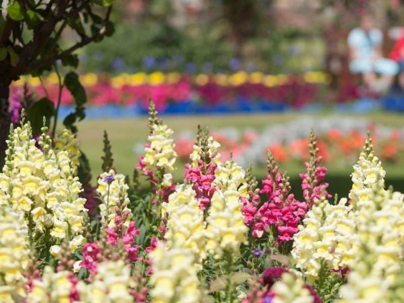 snapdragons bed at a public garden