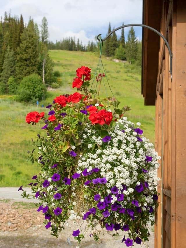 hanging basket with white, red and purple flowers