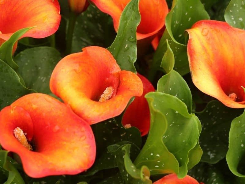 Zantedeschia flowers