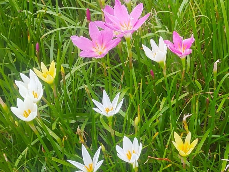 pink, white and yellow zephyranthes