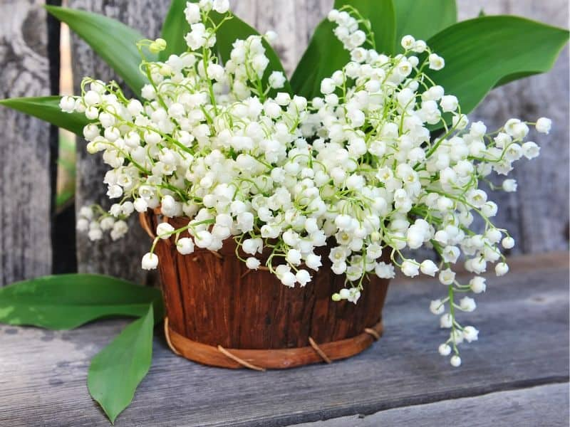 a basket of lily of the valley