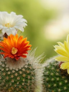 blooming cacti with orange, white, and yellow flowers