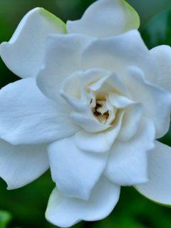 close up of a gardenia flower