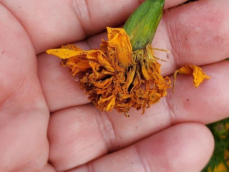 marigold seed head
