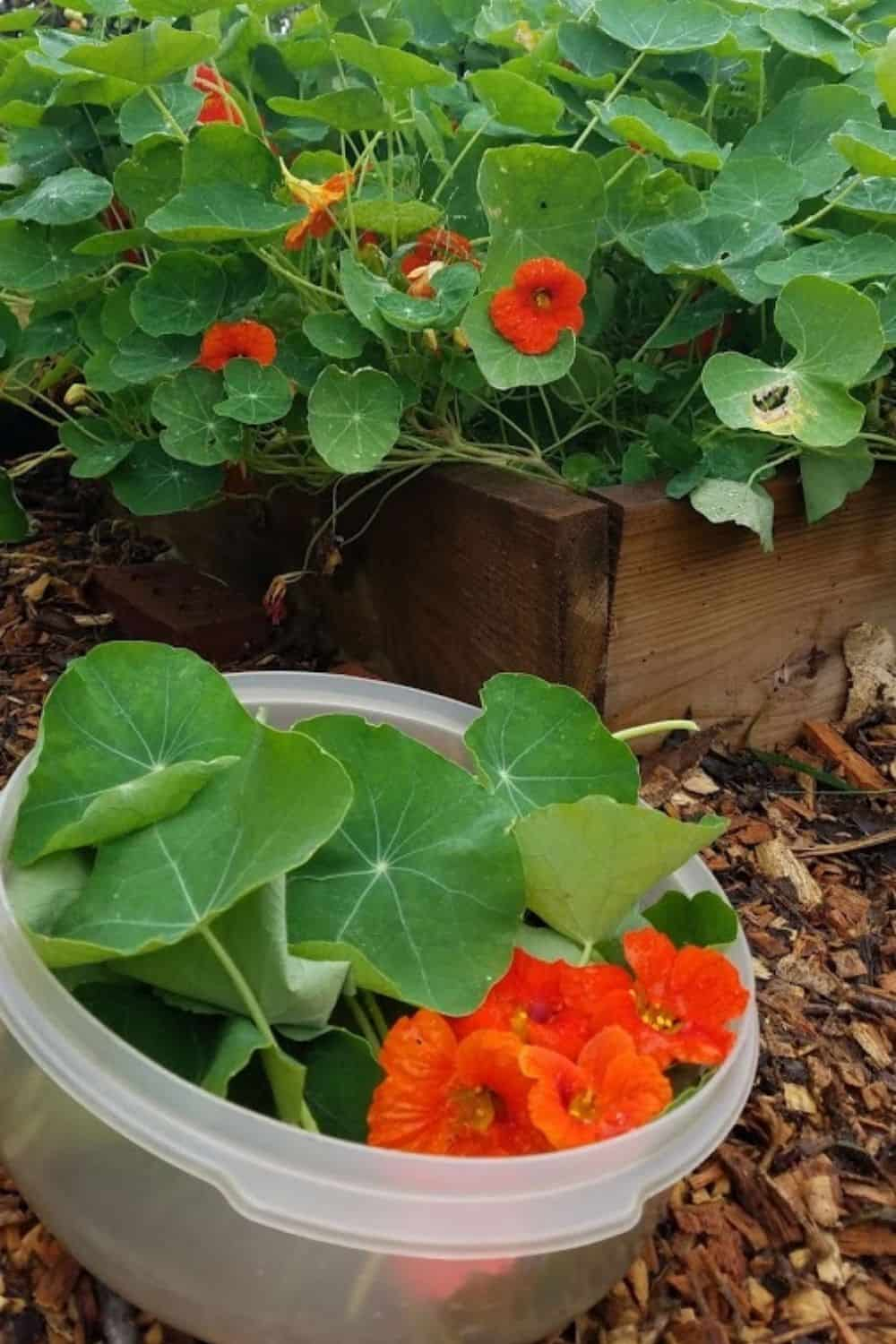container of nasturtium leaves and flowers I jsut picked