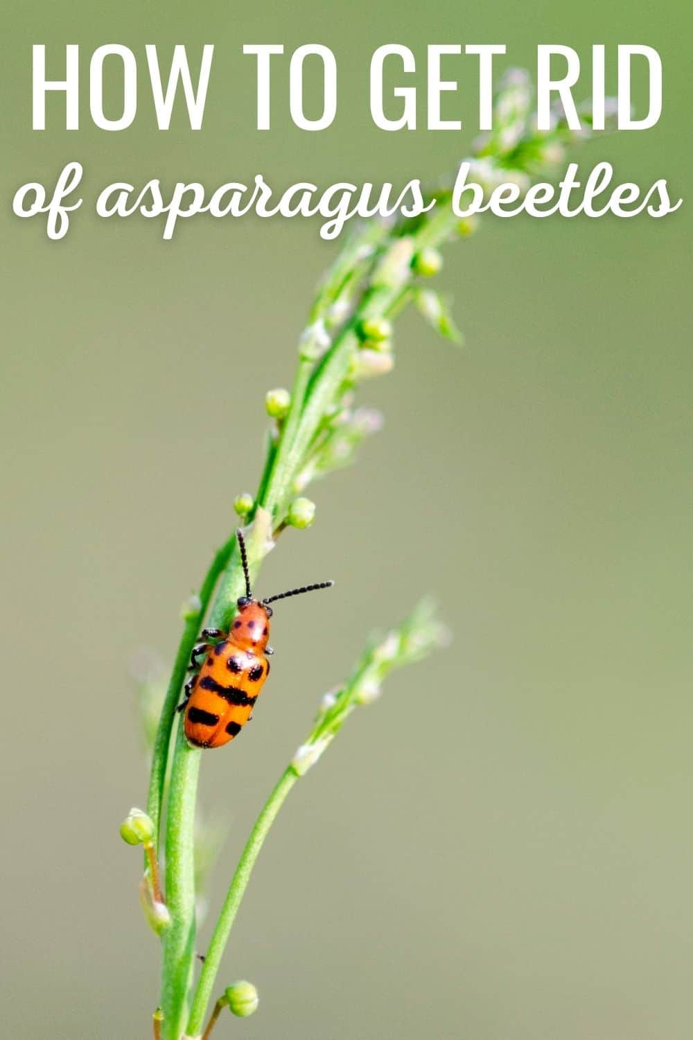 How to get rid of asparagus beetles