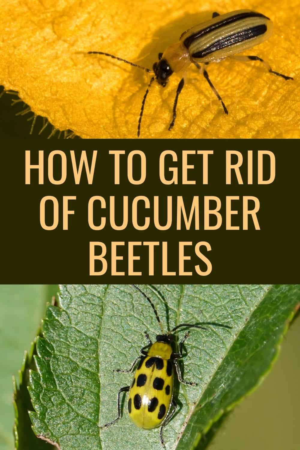 How to get rid of cucumbwr beetles