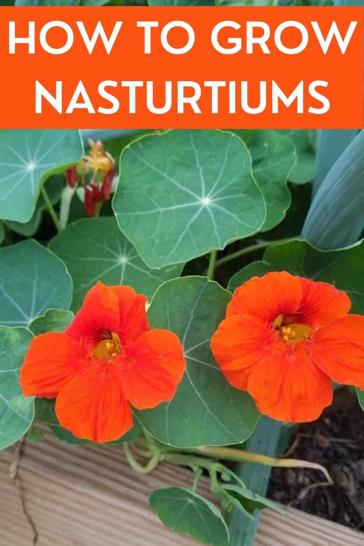 how to grow nasturtiums