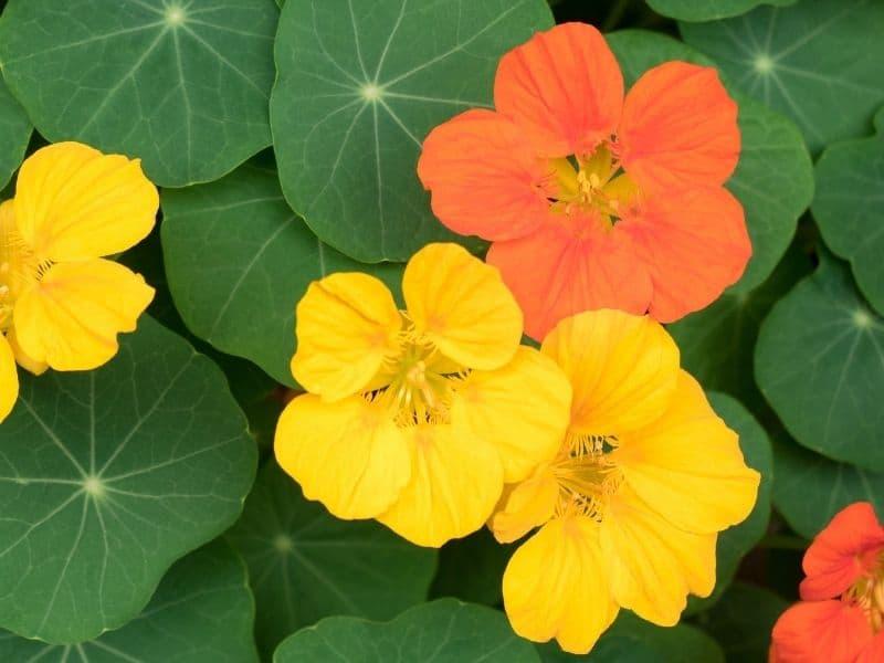 yellow and orange colored nasturtium flowers