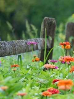 zinnias by a wooden fence