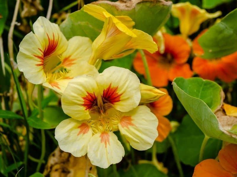 pale yellow nasturtium flowers