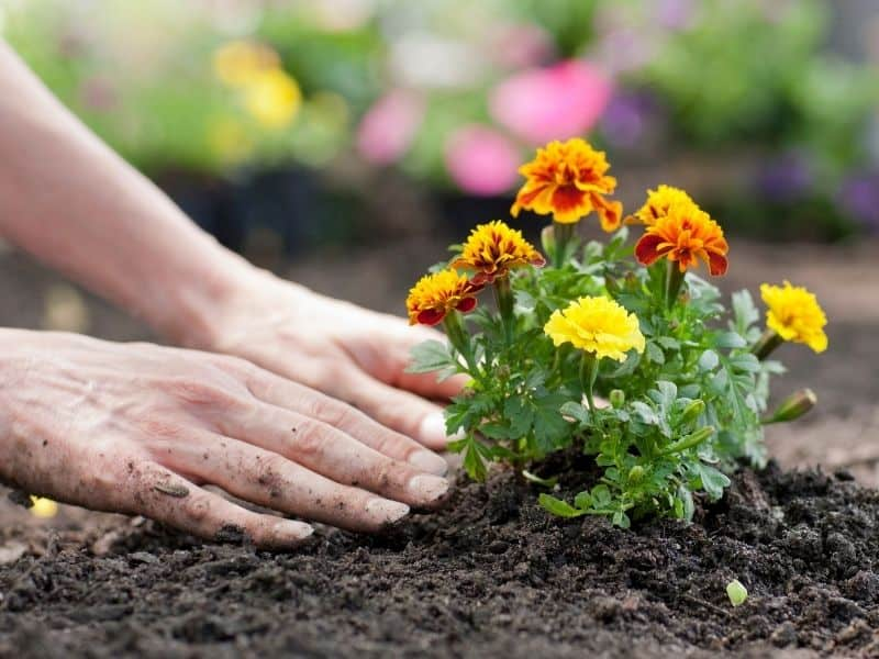 planting marigolds in the garden