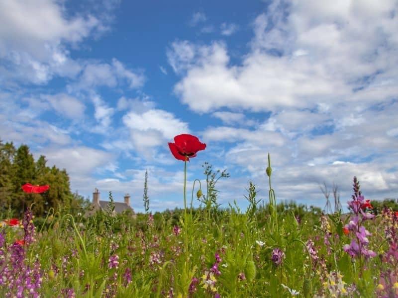red poppy in a wildflower meadow