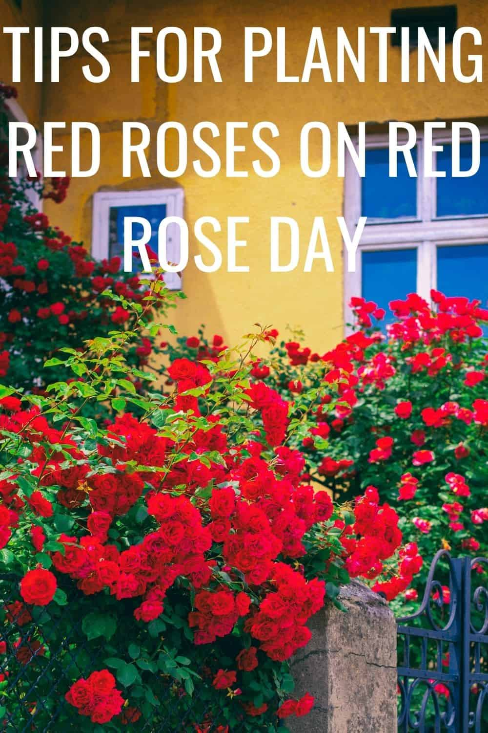 tips for planting red roses on red rose day