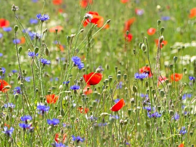wildflower meadow with red white and blue flowers