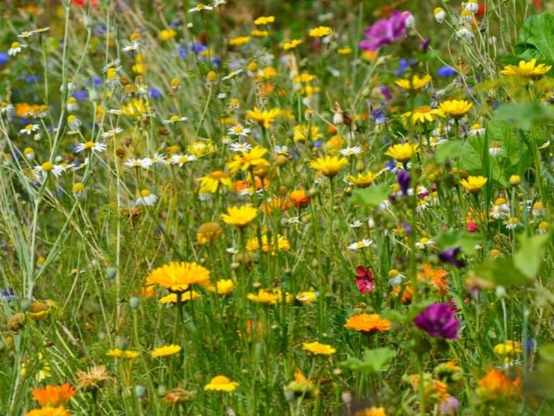 wildflowers meadow with predominantly yellow flowers