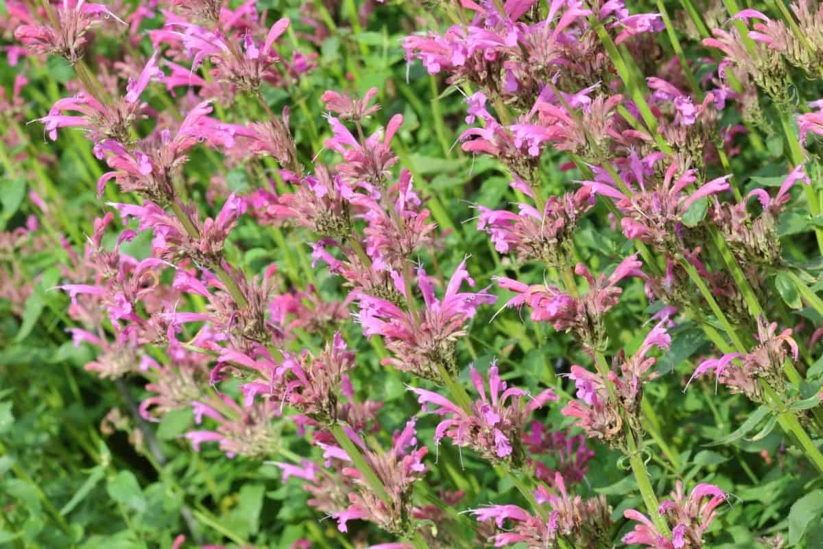 Agastache rupestris flowers