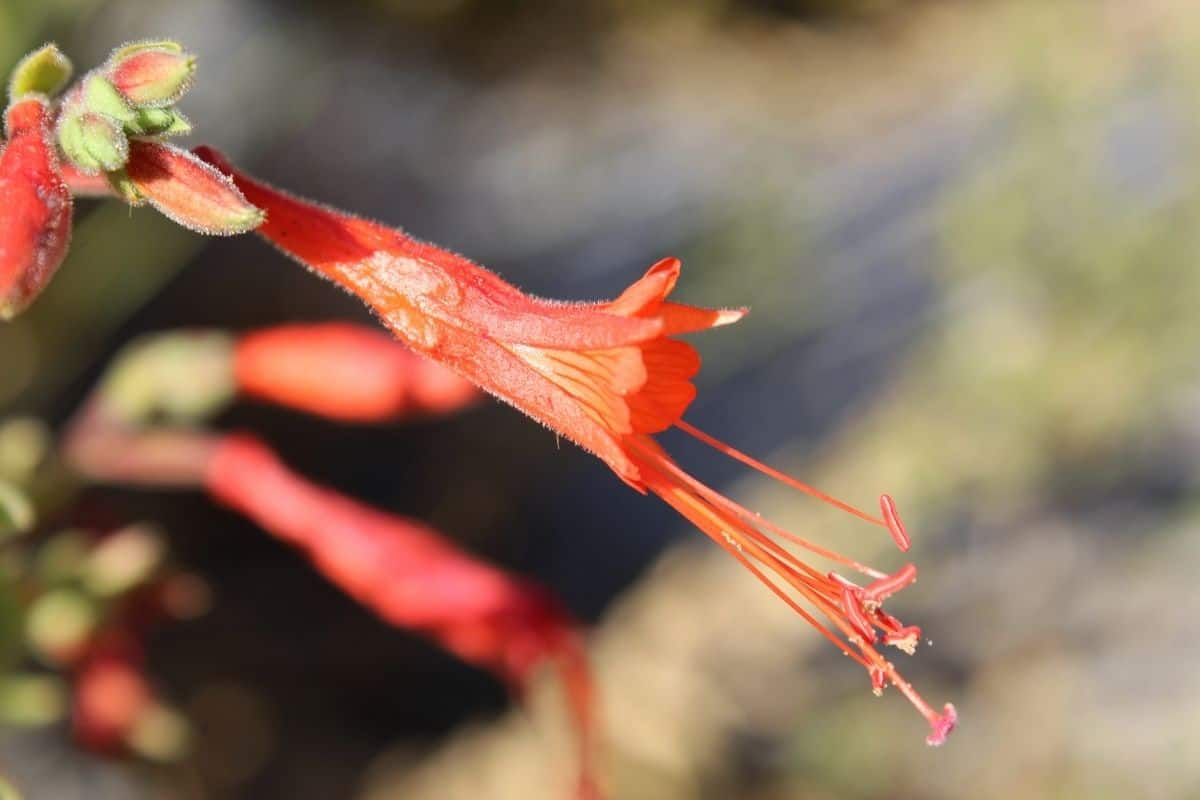 California fuchsia flowers