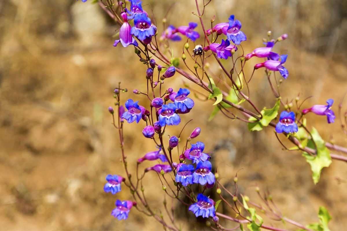 Arkansas beardtongue flowers