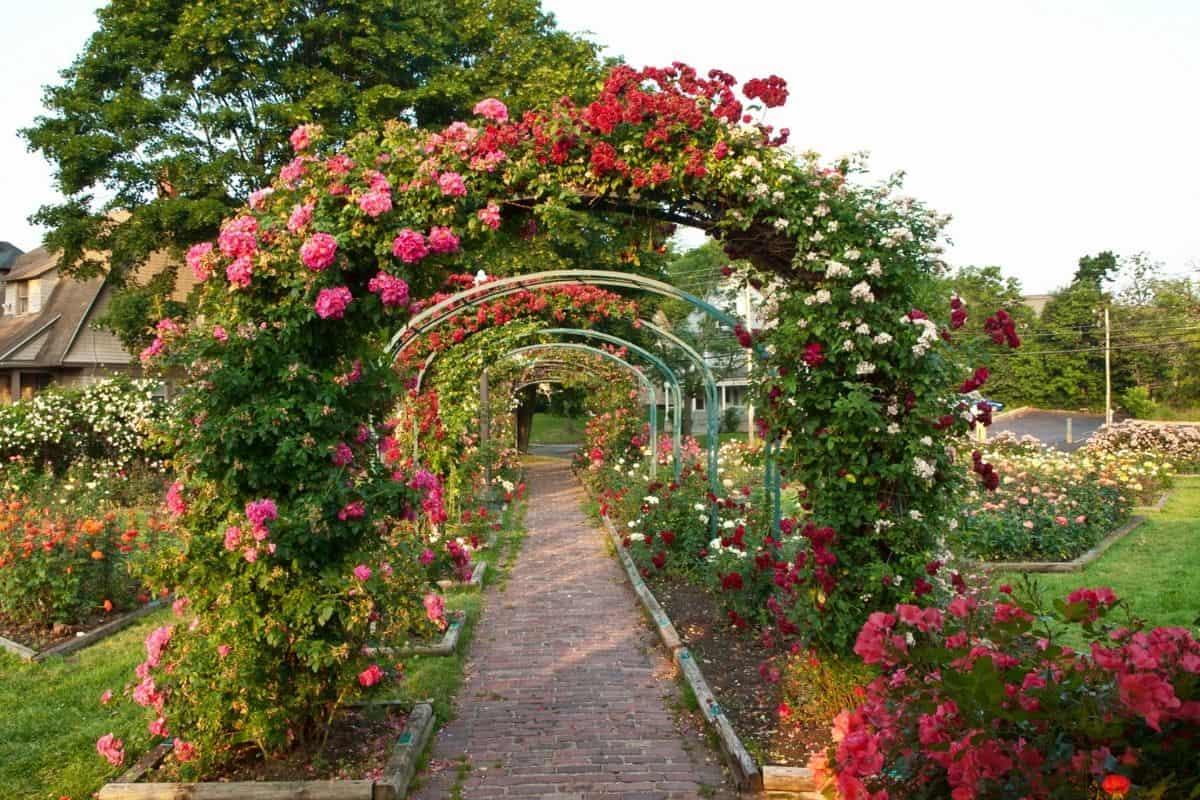 beautiful rose arch
