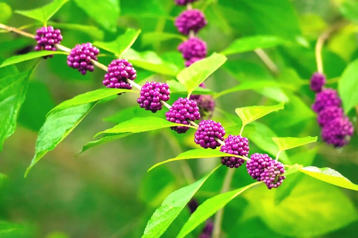 beautyberry plant with fruits