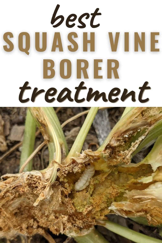 Best squash vine borer treatment