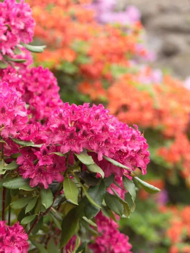 blooming azalea shrubs