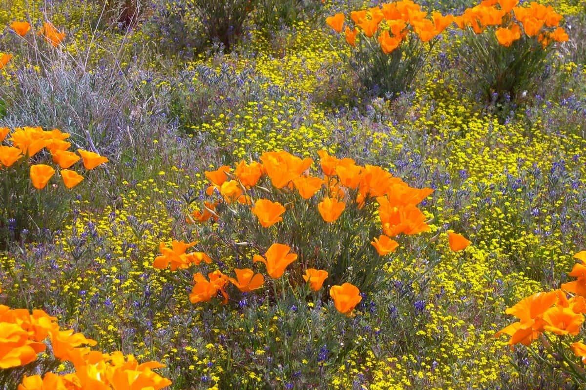a flower field in California