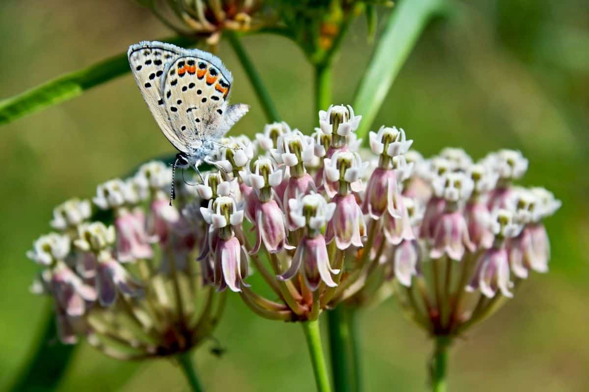 California milkweed