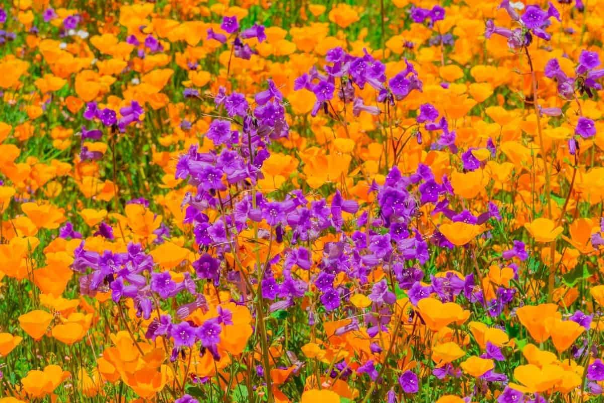 a field of California poppies and penstemon