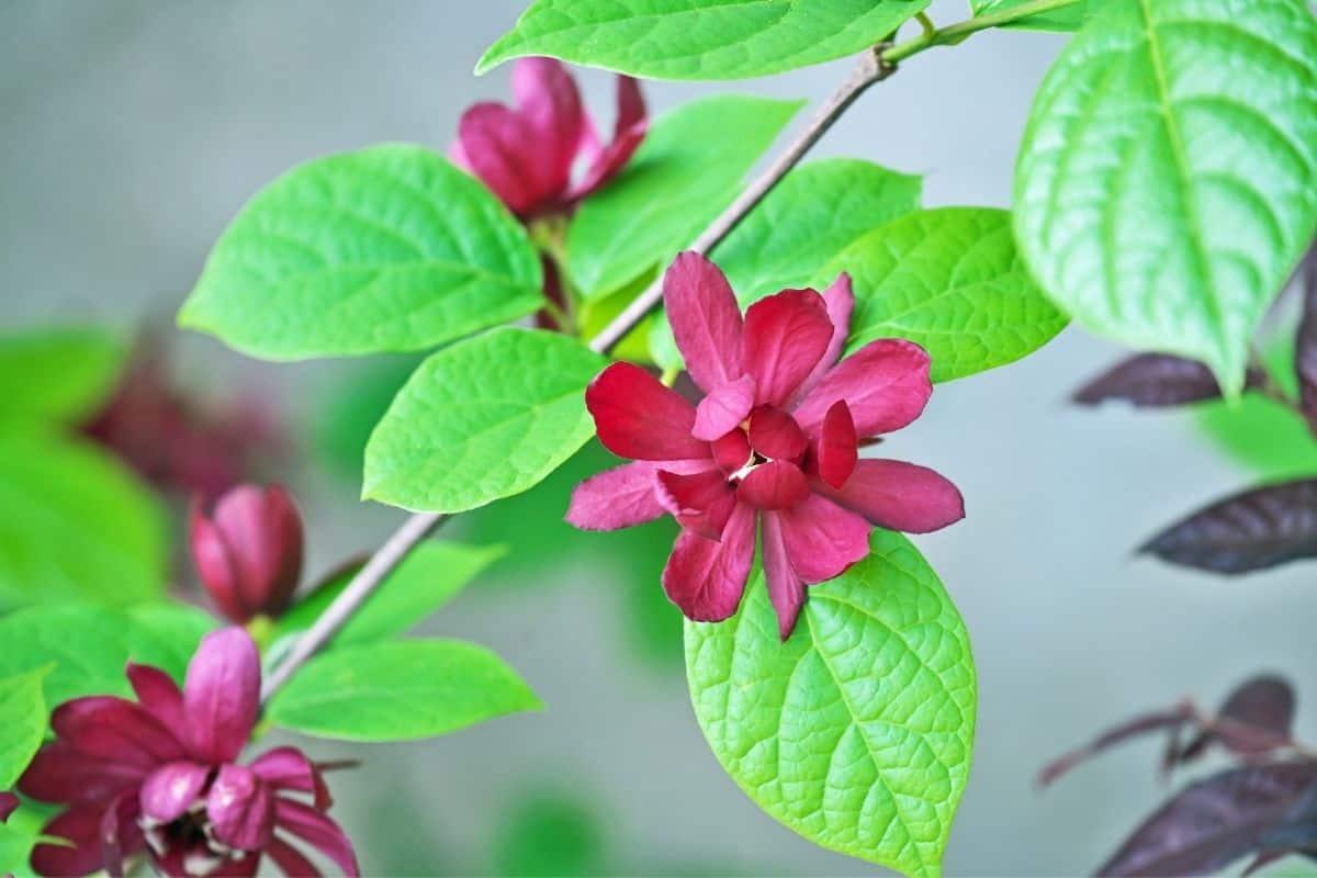 calycanthus flowers