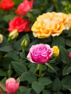 rose garden in warm toned colors