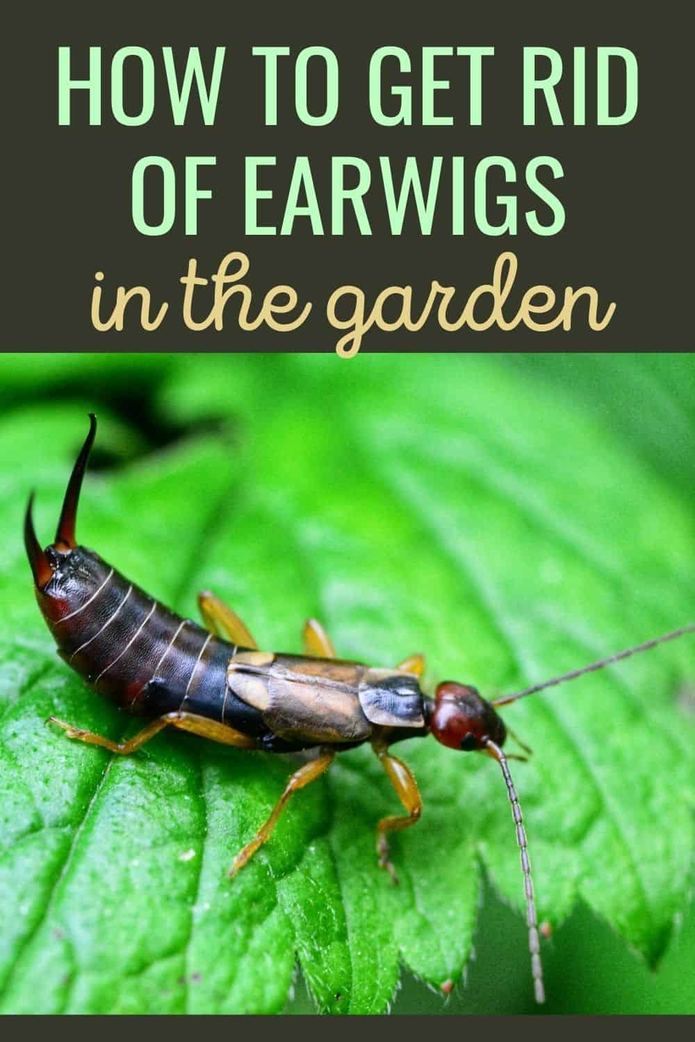 How to get rid of earwigs in the garden