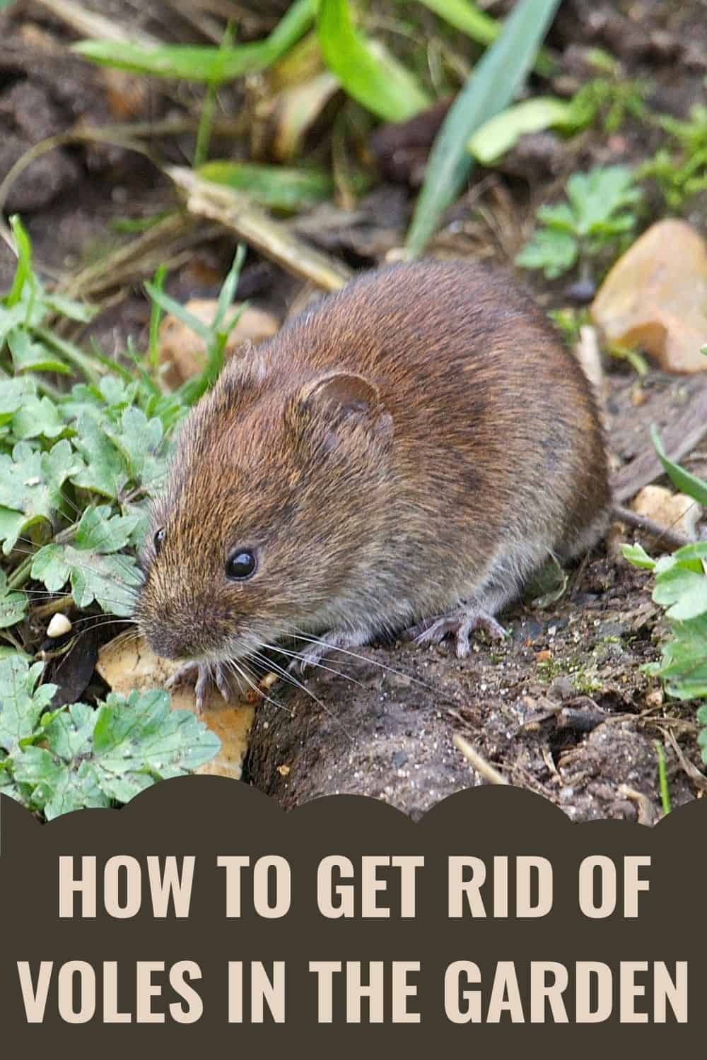 How to get rid of voles in the garden