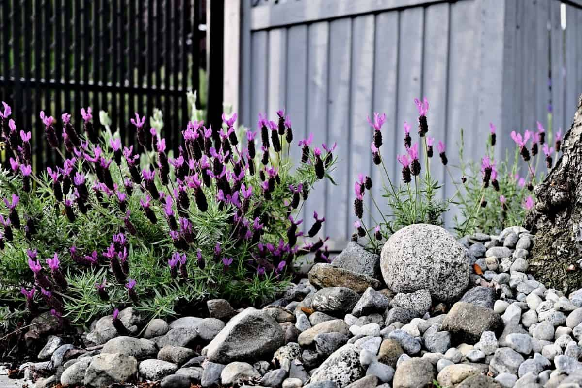 Beautiful lavender in front of a white fence and surrounded by rocks