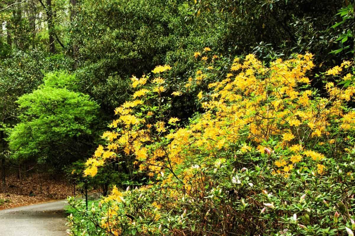 native azalea bush with yellow flowers