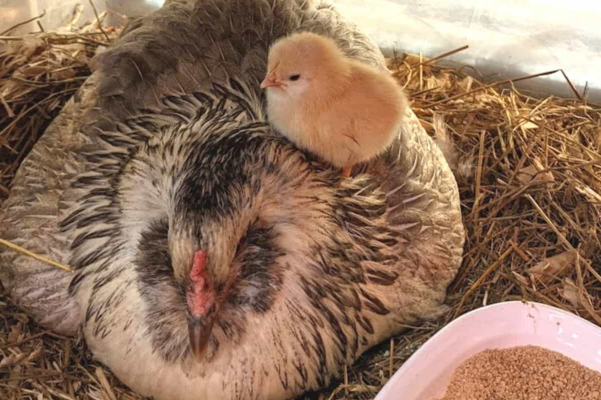 Easter egger chicken with her first baby chick