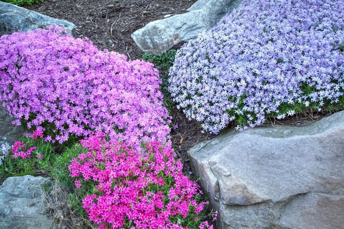 phlox ground cover betweeen large boulders