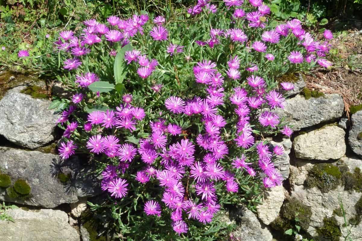 pink asters cascading over a rock wall