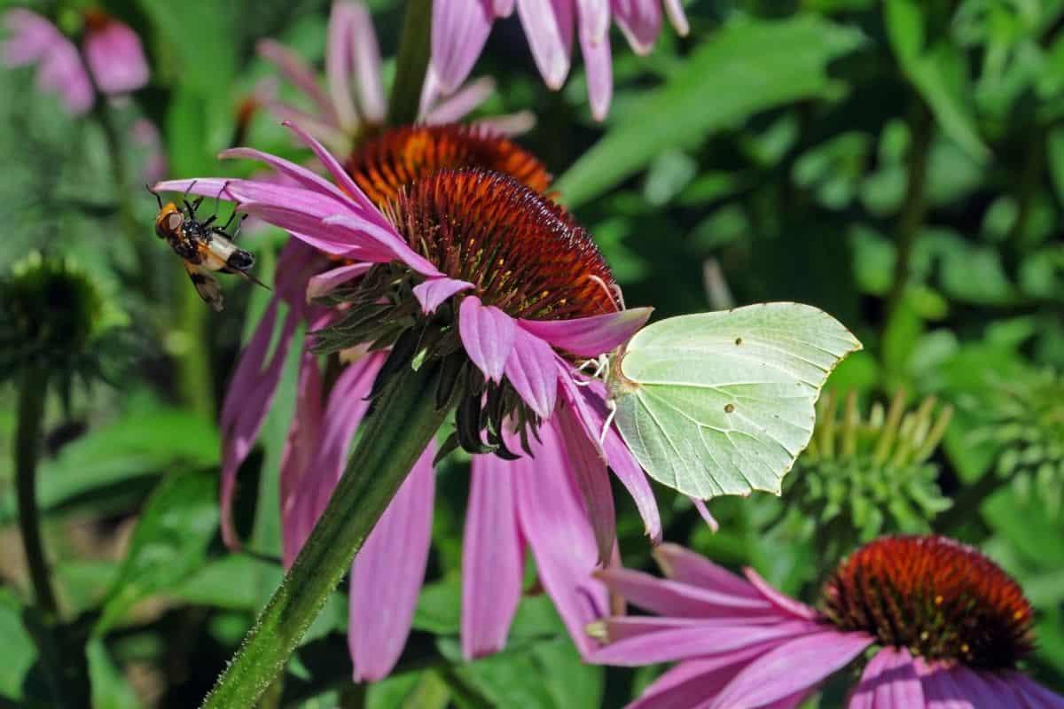 pollinators on purple coneflower